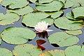 Small lily - panoramio.jpg