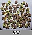 Smyrnium perfoliatum sl15.jpg