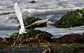 Snowy Egret takes off.jpg