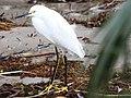 Snowy egret (6701322023).jpg