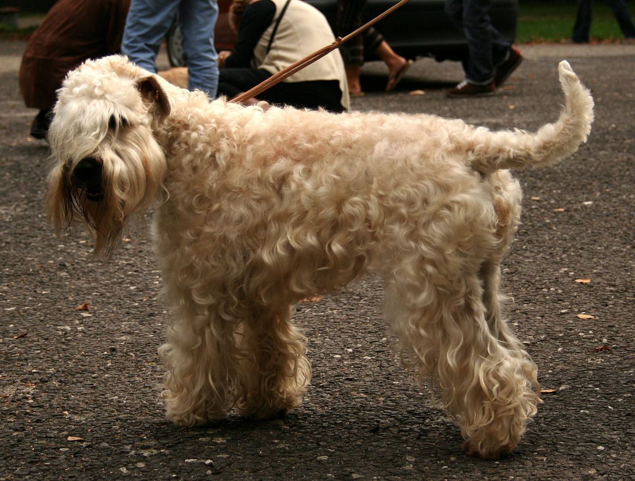 Irish Herding Dog Breeds