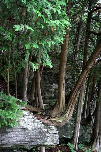 Thuja occidentalis - Old trees growing on a rock ledge in Potawatomi State Park, Wisconsin