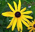 Sonnenhut Asteraceae 2.jpg