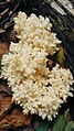 Soplówka bukowa (Hericium coralloides).jpg