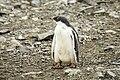 SouthShetland-2016-Livingston Island (Hannah Point)–Gentoo penguin (Pygoscelis papua) 02.jpg