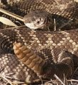 Southern Pacific Rattlesnake, rattling away (10304827024).jpg