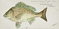 Southern Pacific fishes illustrations by F.E. Clarke 27.jpg