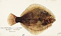 Southern Pacific fishes illustrations by F.E. Clarke 54.jpg
