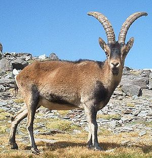 Ungulate - Spanish ibex (Capra pyrenaica)