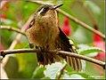 Speckled Hummingbird (Adelomyia melanogenys) 5.jpg