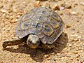 Speke's Hingeback Tortoise (Kinixys spekii) juvenile (13605720404).jpg