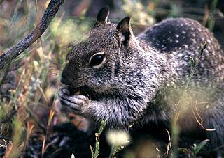 <i>Ground squirrel hepatitis virus</i> species of virus