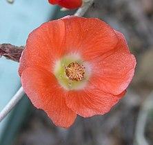 Sphaeralcea ambigua flower 2003-11-18.jpg