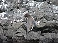 Spheniscus mendiculus -penguin scratching -back view.jpg