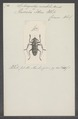 Sphingnotus - Print - Iconographia Zoologica - Special Collections University of Amsterdam - UBAINV0274 034 02 0002.tif