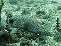 Spot-fin porcupinefish (Diodon hystrix) (27597460948).jpg