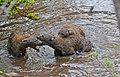 Spotted Hyaenas (Crocuta crocuta) playing in the water ... (32427519703).jpg