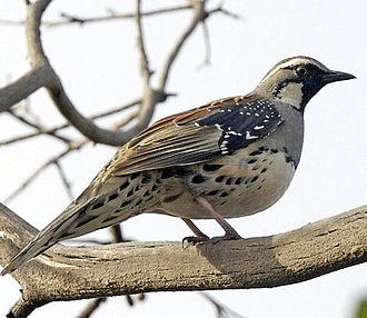 Psophodidae - Spotted quail-thrush (Cinclosoma punctatum)