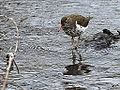 Spotted Sandpiper (7130716571).jpg