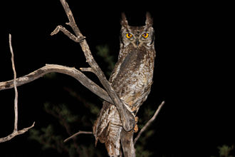 Spotted eagle-owl - At night, Tswalu Kalahari Reserve, South Africa