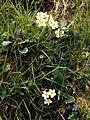 Spring flowers, Hebden - geograph.org.uk - 555370.jpg
