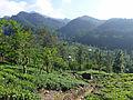 Sri Lanka-Province du Centre-Plantations de thé (2).jpg