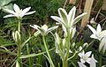 Star of Bethlehem, Ornithogalum sp..jpg