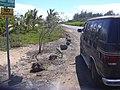 Starr-030905-0014-Nicotiana glauca-along road-Kanaha Beach-Maui (24557556691).jpg