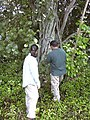 Starr-041018-0030-Clusia rosea-wilding with Kim and Tavita-Haiku-Maui (24691830026).jpg