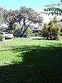 Starr-041022-0023-Schinus terebinthifolius-habit-Makawao-Maui (24089946194).jpg