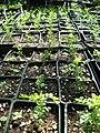 Starr-050303-4808-Osteomeles anthyllidifolia-in pots-Maui Nui Botanical Garden-Maui (24713553686).jpg