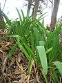 Starr-051123-5476-Agapanthus praecox subsp orientalis-habit-Haleakala Ranch-Maui (24554243970).jpg