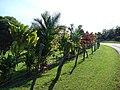 Starr-061128-1634-Cordyline fruticosa-habit-West Kuiaha Rd Haiku-Maui (24775891191).jpg