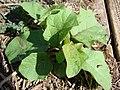 Starr-070215-4492-Solanum torvum-seedlings with thorns on leaf-Old macadamia nut orchards Waiehu-Maui (24514767069).jpg