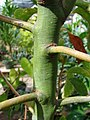 Starr-080117-2035-Cinnamomum camphora-stem-Home Depot Nursery Kahului-Maui (24901661185).jpg