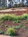 Starr-090426-6310-Brassica nigra-habit-Aapuea Pkwy Kulamalu Kula-Maui (24859136721).jpg