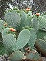 Starr-090426-6385-Opuntia ficus indica-flowers-Lower Kula Rd Kula-Maui (24585035039).jpg
