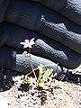 Starr-090504-7257-Erodium cicutarium-habit-Science City-Maui (24927909726).jpg