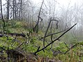 Starr-090513-7739-Rubus niveus-habit and fog in burn area-Polipoli-Maui (24328219343).jpg