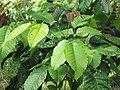 Starr-090617-0831-Sandoricum koetjape-leaves-Ulumalu Haiku-Maui (24934395356).jpg