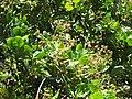Starr-090618-1280-Anacardium occidentale-flowers and leaves-Haiku-Maui (24872809251).jpg