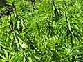 Starr-090702-2052-Costus speciosus-flowering habit-Puaa Kaa Park Hana Hwy-Maui (24968392845).jpg