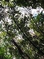 Starr-090714-2828-Swietenia macrophylla-habit-Honokahau Valley-Maui (24342956123).jpg