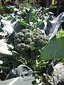 Starr-091108-9381-Brassica oleracea var botrytis-broccoli florets-Olinda-Maui (24989226785).jpg