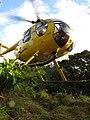 Starr-091112-9546-Clidemia hirta-habit with helicopter landing-West Maui-Maui (24362291233).jpg
