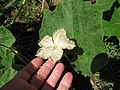 Starr-110209-0846-Lagenaria siceraria-flower and leaves-Resort Management Group Nursery Kihei-Maui (25048444716).jpg