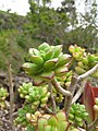 Starr-110307-2638-Unknown crassulaceae-habit-Kula Botanical Garden-Maui (24447793234).jpg