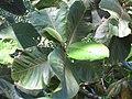 Starr-110330-4130-Tectona grandis-leaves-Garden of Eden Keanae-Maui (24713613049).jpg