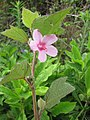 Starr-110722-7153-Urena lobata-flower-Waihee Ridge Trail-Maui (24982379482).jpg
