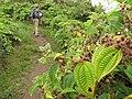 Starr-110722-7301-Clidemia hirta-leaves with Jupiter-Waihee Ridge Trail-Maui (24470153604).jpg